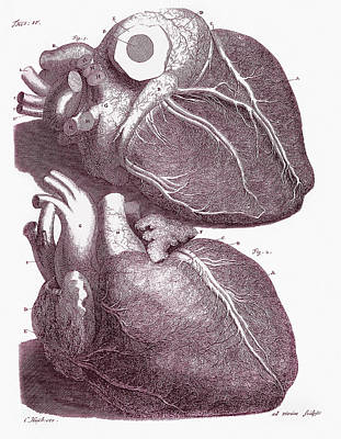 1704 Photograph - Human Heart by Mehau Kulyk