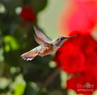 Photograph - Hummingbird 3 by Pamela Walrath