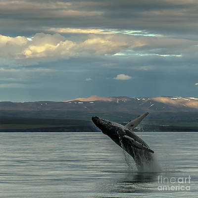 Photograph - Humpback Whale by Jorgen Norgaard