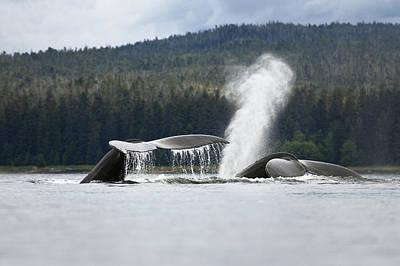 Photograph - Humpback Whale Megaptera Novaeangliae by Konrad Wothe