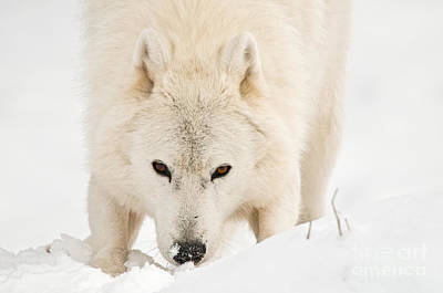 Black. Arctic Wolf Photograph - I See You by Michael Cummings
