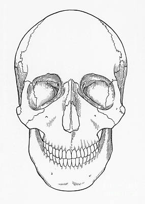 Frontal Bones Photograph - Illustration Of Anterior Skull by Science Source