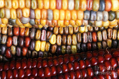 Ears Of Corn Photograph - Indian Corn by Photo Researchers, Inc.
