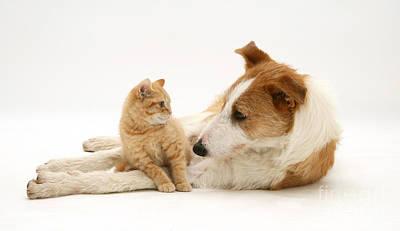 Lurcher Photograph - Kitten And Dog by Jane Burton