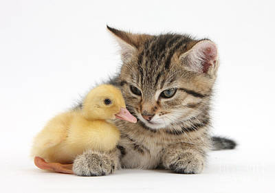 Photograph - Kitten And Duckling by Mark Taylor