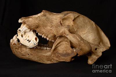 Kodiak Bear Skull With Coyote Skull Art Print