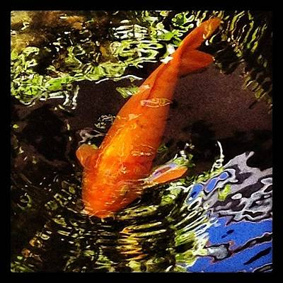 Koi Fish Photograph - Koi by Darice Machel McGuire