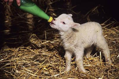 Lamb Art Print by David Aubrey