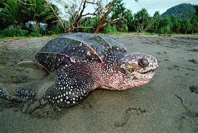 Leatherback Sea Turtle Dermochelys Art Print by Mike Parry