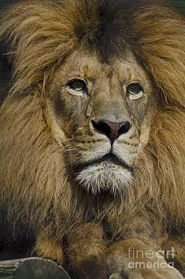 Photograph - Lion by JT Lewis