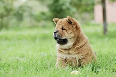 Newfoundland Puppy Photograph - Llittle Chow Chow  Puppy Portrait by Waldek Dabrowski