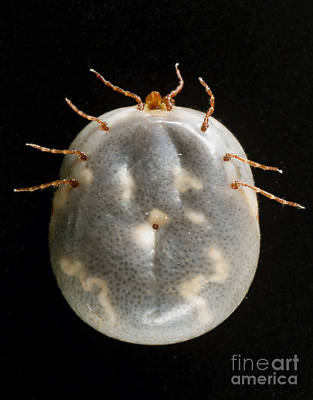 Ventral View Photograph - Lone Star Tick by Science Source