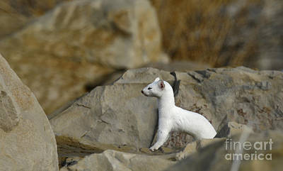 Long Tailed Weasel Art Print by Dennis Hammer