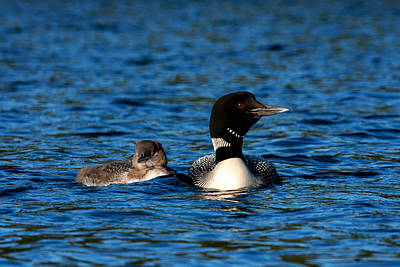 Photograph - Loon And Chick by Benjamin Dahl