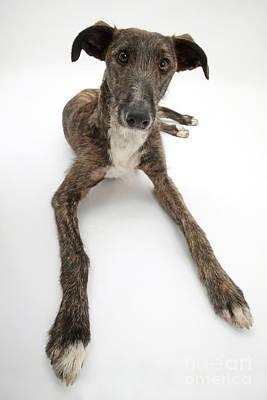 Lurcher Dog Print by Mark Taylor