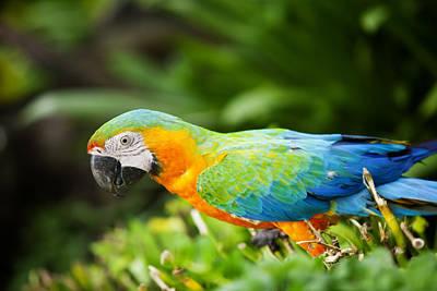 Macaw Original by Anek Suwannaphoom