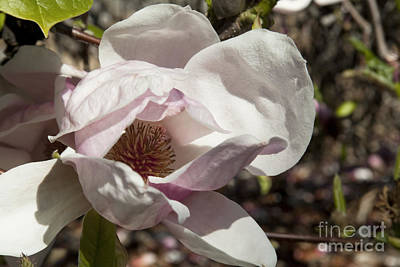 Photograph - Magnolia X Soulangeana Flower by Sherry  Curry