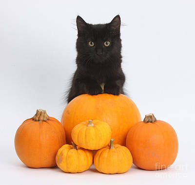 Photograph - Maine Coon Kitten And Pumpkins by Mark Taylor