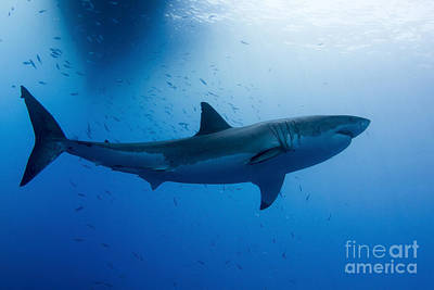Male Great White Shark, Guadalupe Art Print