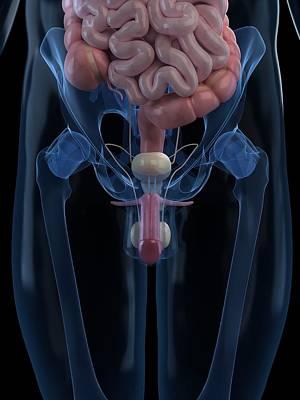 Human Internal Organ Digital Art - Male Reproductive System, Artwork by Sciepro
