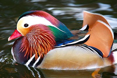 Photograph - Mandarin Duck by Paul Marto