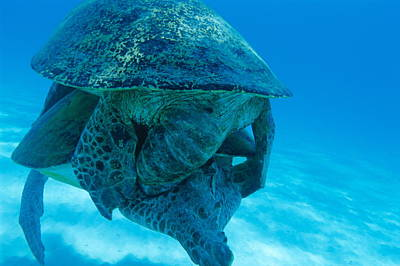 Green Sea Turtle Photograph - Mating Green Turtles by Alexis Rosenfeld