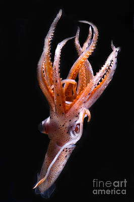 Photograph - Mesopelagic Squid by Dante Fenolio