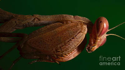 Photograph - Mini Praying Mantis by Mareko Marciniak