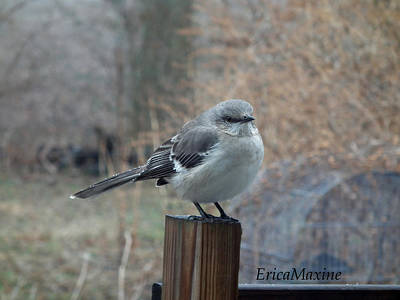 Photograph - Mockingbird by EricaMaxine  Price