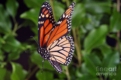 Photograph - Monarch Butterfly In Flight by Ted Kinsman