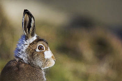 European Hare Wall Art - Photograph - Mountain Hare by Duncan Shaw