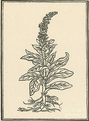 Mullein Art Print by Science Source
