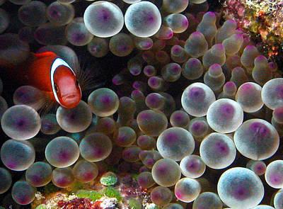 Clown Fish Photograph - Nemo by Jean Noren