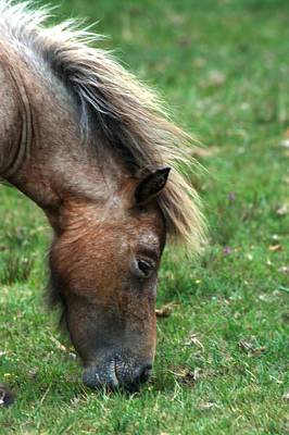 Photograph - New Forest Pony by Chris Day