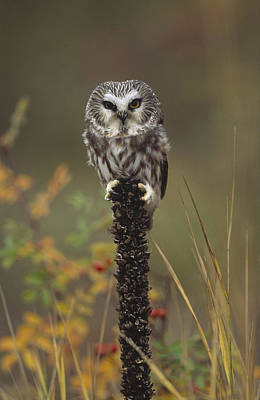 Aegolius Acadicus Photograph - Northern Saw Whet Owl Perching by Tim Fitzharris
