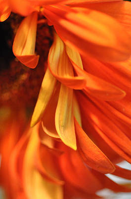 Orange Gerbera Daisy 4 Art Print by Ronda Broatch