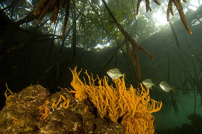 Kosrae Island Photograph - Orange Sponges Grow by Tim Laman