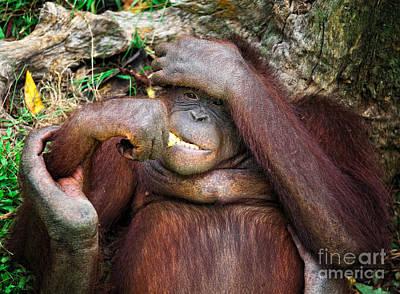 Photograph - Orangutang Portrait by Gualtiero Boffi