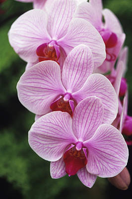 Orchid Flowers Art Print