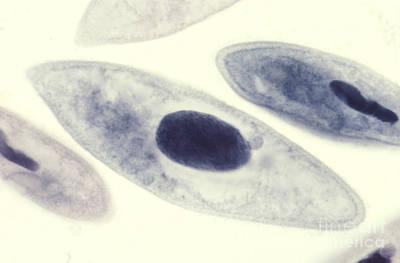 Paramecium Caudatum Print by M. I. Walker
