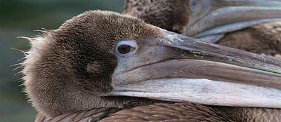 Pelican Art Print by Paul Marto
