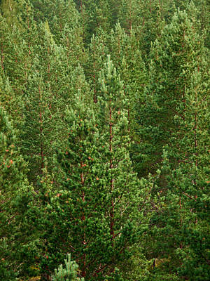 Photograph - Pine Forest by Jouko Lehto