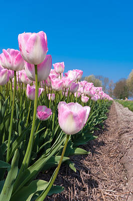 Art Print featuring the photograph Pink Tulips by Hans Engbers