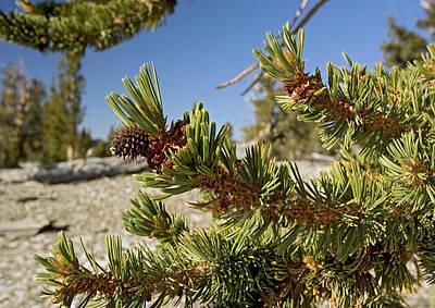 Pinus Longaeva Art Print by Bob Gibbons