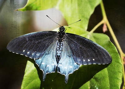 Pipevine Swallowtail Butterfly Photograph - Pipevine Swallowtail Butterfly  by Saija  Lehtonen