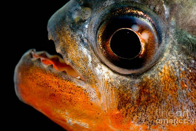 Photograph - Piranha by Dante Fenolio