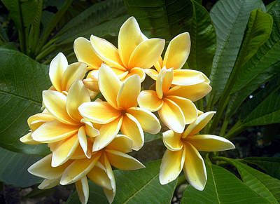 Digital Art - Plumeria by Vicky Tarcau