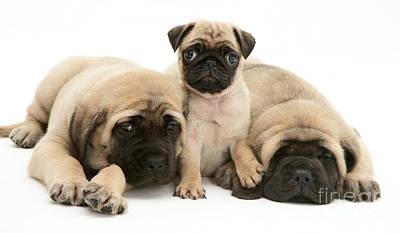 Pug And English Mastiff Puppies Art Print