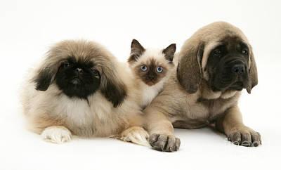 Mastiff Pup Photograph - Puppies And Kitten by Jane Burton
