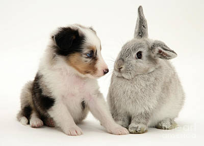 Sable Sheltie Photograph - Puppy And Rabbit by Jane Burton